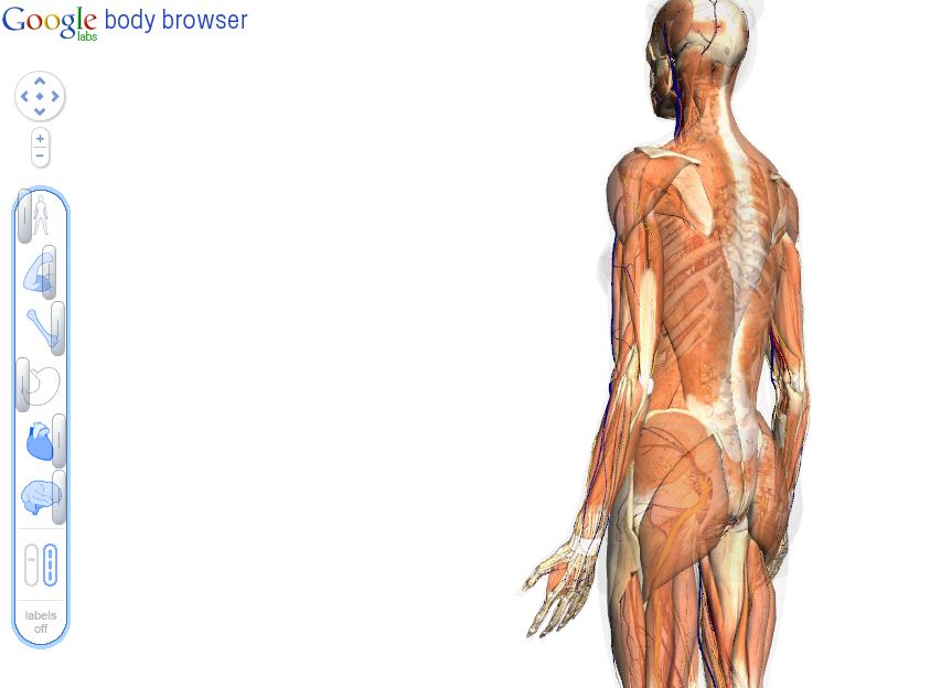 The Human Anatomy – Google\'s Body Browser | TCAT Shelbyville ...